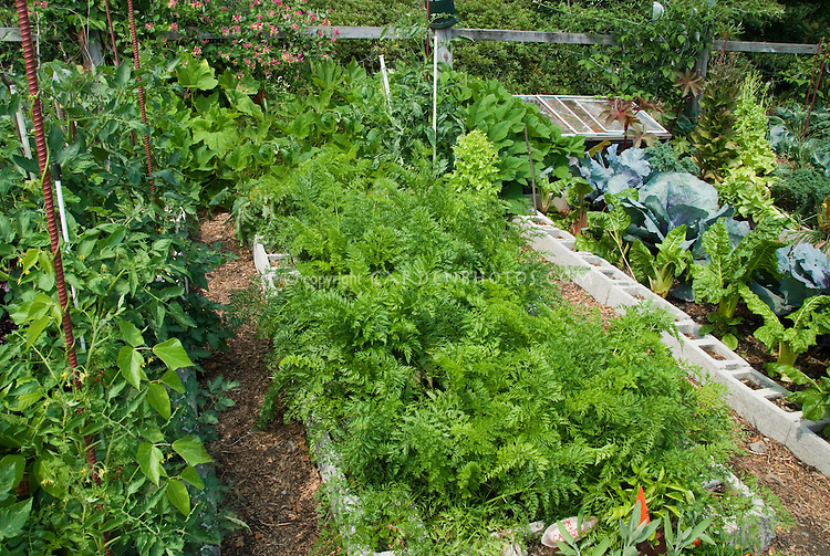 Raised vegetable beds made from cinderblocks, with carrots, tomatoes,  broccoli, chard, etc, cold frame at reat