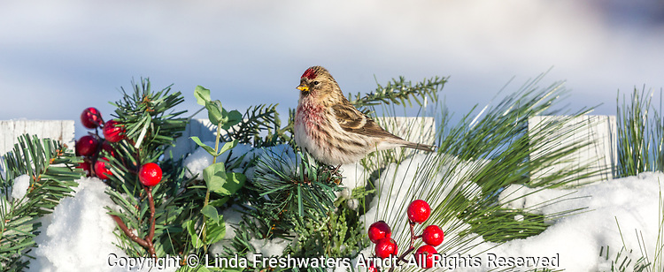 Common redpoll perched on a festive fence in northern Wisconsin.