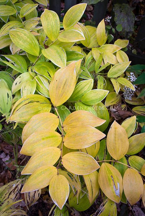 Polygonatum odoratum var  pluriflorum 'Variegatum' in fall