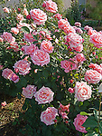 Fragrant Hour Rose bush, Rosa hybrid tea