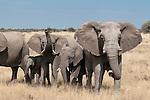 Elephant herd, Etosha National Park, Namibia. (This species is found in many African countries including South Africa, Botswana, Zambia, Zimbabwe, Namibia, Tanzania, Kenya, Rwanda, Uganda, Angola, Democratic Republic of Congo)