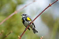 yellow-rumped warbler, Setophaga coronata, male on tree in spring, Nova Scotia, Canada