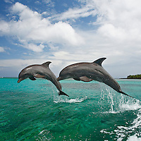 qk0568-Ds. Bottlenose Dolphins (Tursiops truncatus). Honduras, Caribbean Sea..Photo Copyright © Brandon Cole. All rights reserved worldwide.  www.brandoncole.com..This photo is NOT free. It is NOT in the public domain. This photo is a Copyrighted Work, registered with the US Copyright Office. .Rights to reproduction of photograph granted only upon payment in full of agreed upon licensing fee. Any use of this photo prior to such payment is an infringement of copyright and punishable by fines up to  $150,000 USD...Brandon Cole.MARINE PHOTOGRAPHY.http://www.brandoncole.com.email: brandoncole@msn.com.4917 N. Boeing Rd..Spokane Valley, WA  99206  USA.tel: 509-535-3489