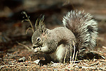 An Abert's squirrel (Sciurus aberti) feeding on a ponderosa pine nut on the forest floor of Rocky Mountain National Park, Colorado.
