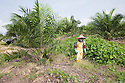 A worker, from Lombok, Indonesia, sprays glyphosate herbicide around young palm trees once a month to keep vegetation away. The chemicals have already been diluted to avoid toxic spills in the fields. The Sindora Palm Oil Plantation, owned by Kulim, is green certified by the Roundtable on Sustainable Palm Oil (RSPO) for its environmental, economic, and socially sustainable practices. Johor Bahru, Malaysia