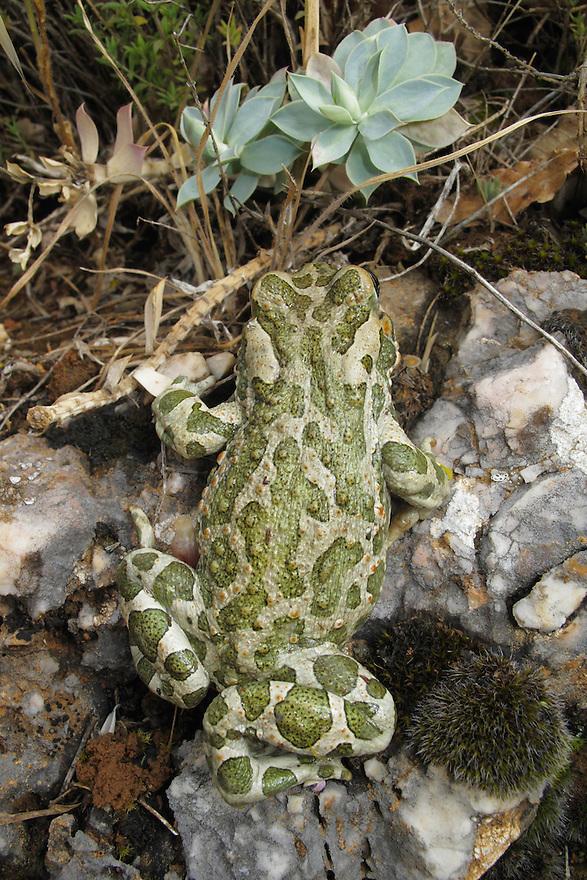 European Green Toad, Bufo viridis.<br /> Stenje region, Lake Macro Prespa (850m) <br /> Galicica National Park, Macedonia, June 2009<br /> Mission: Macedonia, Lake Macro Prespa /  Lake Ohrid, Transnational Park<br /> David Maitland / Wild Wonders of Europe