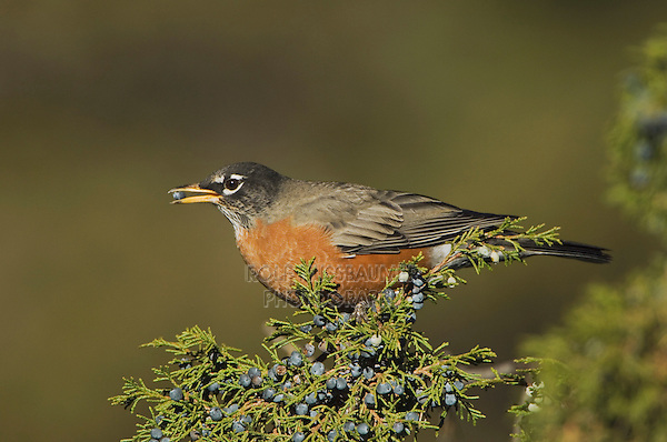 American Robin, Turdus migratorius, male eating juniper tree berries,Yellowstone NP,Wyoming, USA