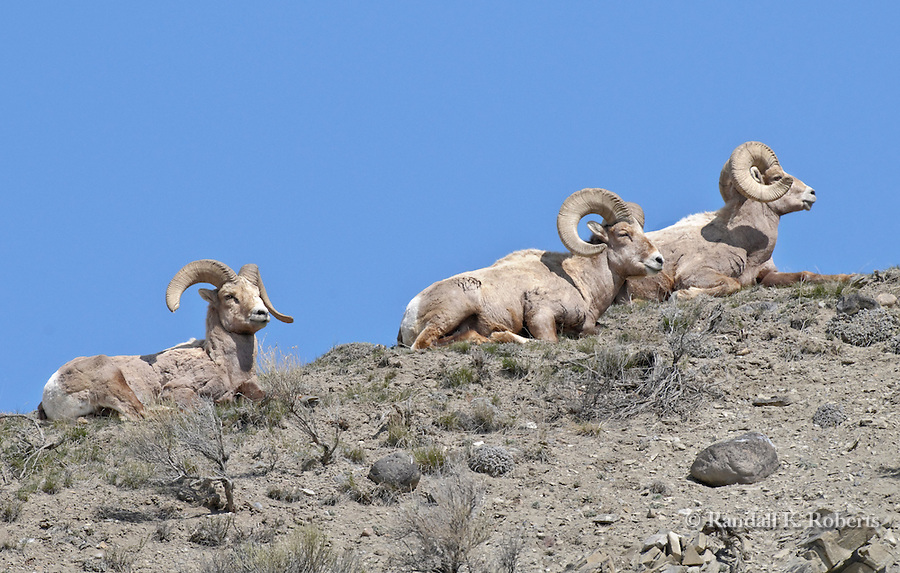 Three Rocky Mountain bighorn sheep rams enjoy spring weatheron a hillside in Yellowstone National Park, Montana