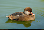Red-Crested Pochard Female, Southern California