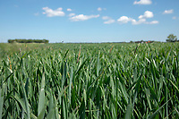 Blackgrass in winter wheat - Lincolnshire, May