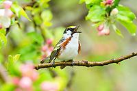 chestnut-sided warbler, Setophaga pensylvanica, male, singing, Nova Scotia, Canada