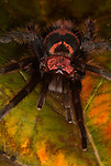 Tarantula Spider, Mexican Tiger Rump, Davas pentalorus, on leaf, forest, jungle.Mexico....