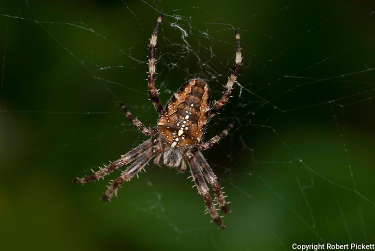 Garden Spider on Web, Araneus diadematus, at centre