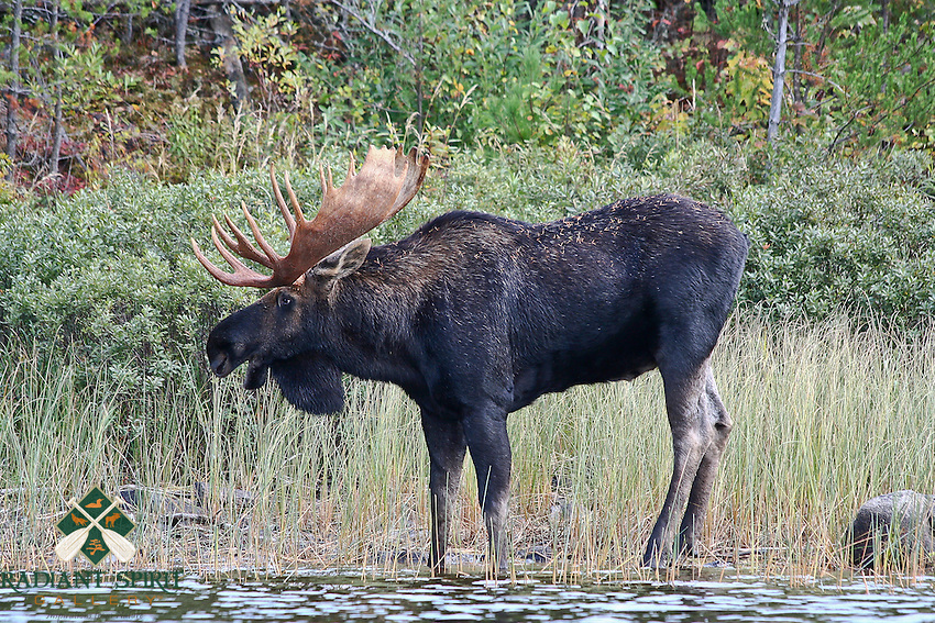 &quot;Bull Moose&quot;<br />