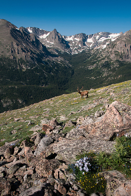 American elk, wapiti, Cervus elaphus, bull, antlers, alpine, tundra, summer, morning, Rocky Mountain National Park, Colorado, USA