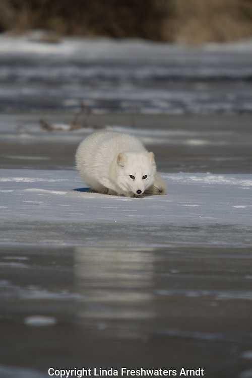 Arctic fox (Alopex lagopus) crouched on the ice