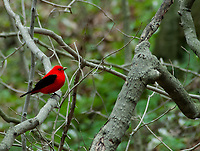 A Scarlet Tanager (Piranga olivacea) sits on a branch in a forest at Aman Park in Ottawa County, Michigan