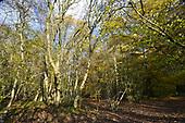 Mature Ash tree on ancient mixed woodland boundary, Stoke Wood, Oxfordshire