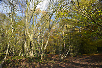 Mature Ash tree on ancient mixed woodland boundary, Stoke Wood, Oxfordshire