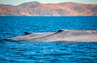 blue whale, Baleanoptera musculus, mother and calf, dorsal fins, endangered species, Isla del Carmen, Loreto Bay National Park, Baja California Sur, Mexico, Guld fo California aka Sea of Cortez, East Pacific Ocean