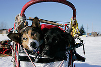 "Tuesday March 6, 2007   ""Skittles""( left) and ""Burt"" wait patiently in the sled basket at the Nikolai checkpoint on Tuesday for Ramy Brooks to take them out.  They were injured part way on the run from Rohn to Nikolai."