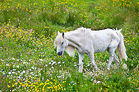 Malnourished thin and boney Connemara pony in Connemara, County Galway