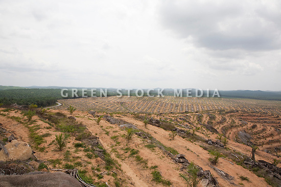 View of terraced fields of oil palm plantation. Terraced hills are full of newly planted palm trees where old trees had been cut down at the end of their fruit producing lives. Terracing helps to limit erosion. The old trees were not burned but left on the land to decompose. The Sindora Palm Oil Plantation, owned by Kulim, is green certified by the Roundtable on Sustainable Palm Oil (RSPO) for its environmental, economic, and socially sustainable practices. Johor Bahru, Malaysia