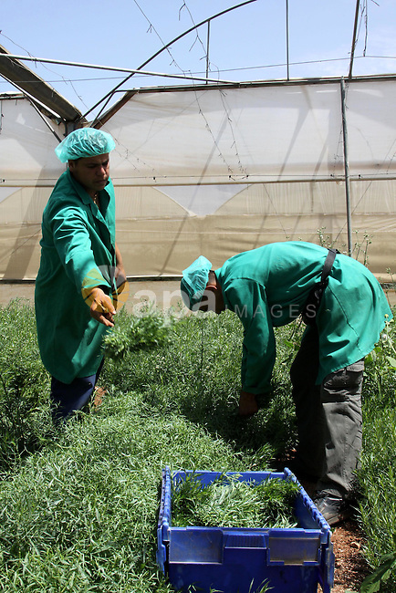 Palestinian farmers pick of the medicinal herbs and packed in cartons and exported to be sold in the countries of Europe, in the village of Tamoun near in the West Bank city of Jenin, on May 30, 2012. The Palestinian economy is experiencing a serious drop in liquid assets that has worsened since last year due to a reduction in aid from Western and Gulf countries, as well as trade and movement restrictions imposed by Israel, an IMF report said earlier in the year.  Photo by Nedal Eshtayah