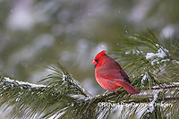 01530-23008 Northern Cardinal (Cardinalis cardinalis) male in pine tree in winter snow Marion Co. IL
