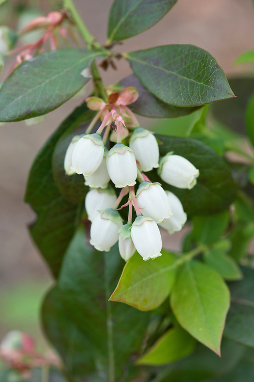 Blueberry 'Legacy' in flower, early May.
