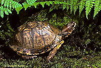 1R07-024z  Eastern Box Turtle - Terrapene carolina