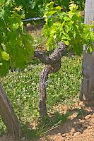 An old merlot vine in the vineyard in sandy limestone soil  Chateau de Pressac St Etienne de Lisse  Saint Emilion  Bordeaux Gironde Aquitaine France