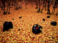 Art in Nature 9409-0218 - Autumn Carpet - A carpet of colorful Oak and Maple leaves covers the forest floor in Payson Canyon. Wasatch Range, Rocky Mountains, Utah.