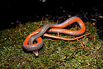 Red-bellied snake, Storeria occipitomaculata, feigning death