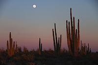 Zona de vegetacion plagada de Sahuaros que forma parte del desierto de San Nicolas en el estado de Sonora, Mexico..Area full of vegetation that is part Sahuaros Desert San Nicolas in the state of Sonora, Mexico.*Monday*06*/feb/201*.***photo:staff/NortePhoto**.*No*sale*to*third* ****<br /> The Moon is the only natural satellite of Earth. With an equatorial diameter km1 3474 is the solar system's largest satellite fifth, while as compared to the proportional size of its planet is the largest satellite: one quarter the diameter of Earth and 1/81 its mass.<br /> Una de las primeras lunas llenas del a&ntilde;o 2013 se pudo apreciar hoy  antes del anocecer sobre el cielo al  oriente de la ciudad de Hermosillo, Sonora.<br /> La Luna es el &uacute;nico sat&eacute;lite natural de la Tierra. Con un di&aacute;metro ecuatorial de 3474 km1 es el quinto sat&eacute;lite m&aacute;s grande del Sistema Solar, mientras que en cuanto al tama&ntilde;o proporcional respecto de su planeta es el sat&eacute;lite m&aacute;s grande: un cuarto del di&aacute;metro de la Tierra y 1/81 de su masa. **  Foto&copy; : LuisGutierrez **