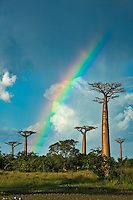 Rainbow in baobab landscape