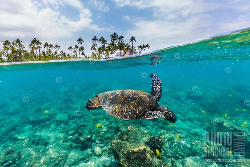 A honu (or green sea turtle) and reef fish swim in the clear waters near the Pu'uhonua o Honaunau, a national historical park and sacred site in Kohala, Big Island.