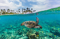 A honu (or green sea turtle) and reef fish swim in the clear waters near the Pu'uhonua o Honaunau, a national historical park and sacred site in Kohala, Big Island.