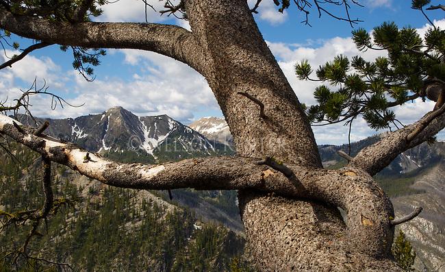 bristlecone pine tree high in the anaconda pintler wilderness area in montana
