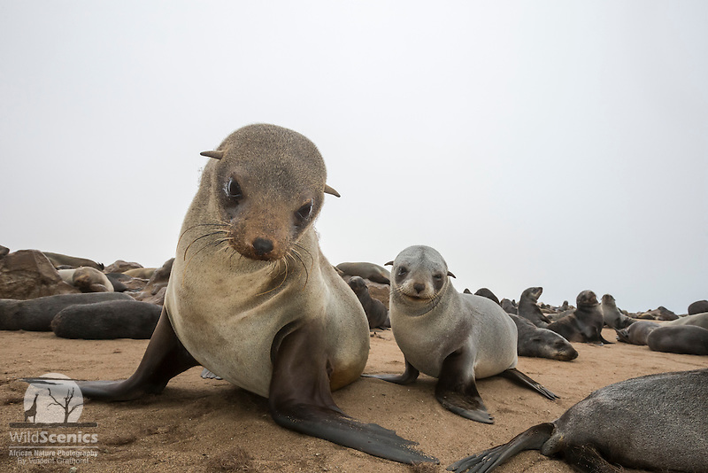 Low angle portrait of a Cape Fur Seal mother and her pup.
