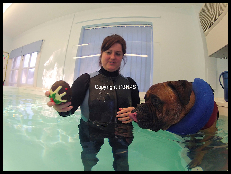 BNPS.co.uk (01202 558833)<br /> Pic: LauraDale/BNPS<br /> <br /> Loki swims with Joanna Cubbin (31) at Pet Waves in Dinton, Wiltshire.<br /> <br /> Swim yourself thin... A greedy mastiff has swum himself into shape after staff at a hydrotherapist in Wilton, Wiltshire, hit upon the idea of a trail of cakes to encourage the portly pooch.<br /> <br /> Overweight dog Loki, who loves to munch human food, has been swimming his way slim by chasing a plastic Christmas pudding and burger around the pool.<br /> <br /> The five-year-old bull mastiff has shed 20lbs following a strict diet of low-calorie pet food and regular swimming sessions to battle the bulge and his osteoporosis.<br /> <br /> Loki goes to Pet Waves hydrotherapy pool in Wiltshire once a week where hydrotherapist Joanna Cubbin gets him to work hard for his plastic food.