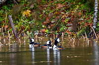 Male Hooded Mergansers (Lophodytes cucullatus) displaying (bobbing head) in old beaver pond along Hoh River, Olympic National Park, WA.  Late Fall.
