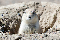 A prairie dog sits in its hole at First Peoples Buffalo Jump State Park near Ulm, Montana.