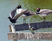 Two black terns and laughing gulls share a perch