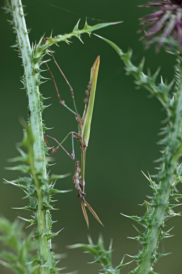 A mimetic cone-head mantis (Empusa fasciata) on musk thistle (Carduus nutans macrocephalus). Hutovo Blato Nature Park. Bosnia-Herzegovina. May 2009.<br /> Elio della Ferrera / Wild Wonders of Europe