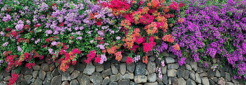 Bougainvillea along rock wall. Hawaii Island.