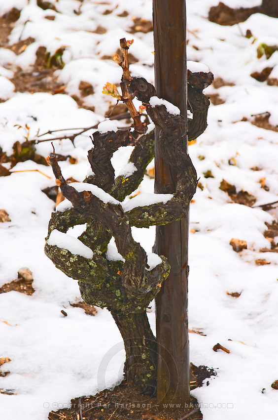 An old Syrah vine in Cornas. Vineyards under snow in seasonably exceptional weather in April 2005. Cornas, Ardeche, Ardèche, France, Europe