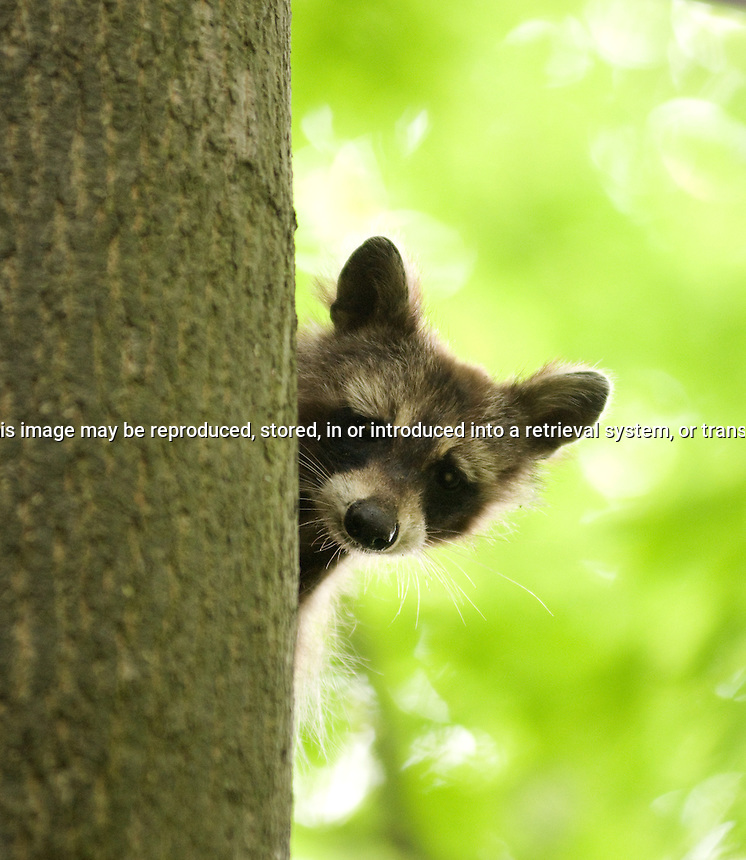 young raccon looking a round tree