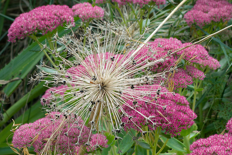 Sedum,  with seedhead of ornamental onion Allium schubertii