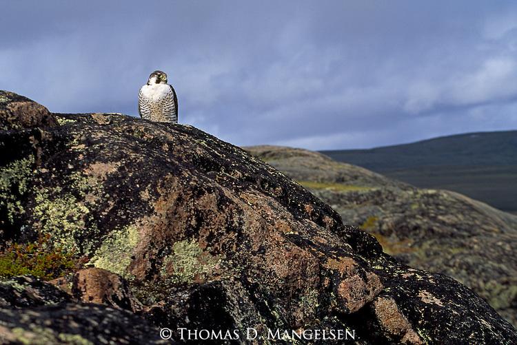 A peregrine falcon perches on a cliff in Nunavut, Canada.